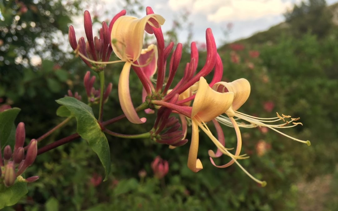 MADRESELVA – HONEYSUCKLE